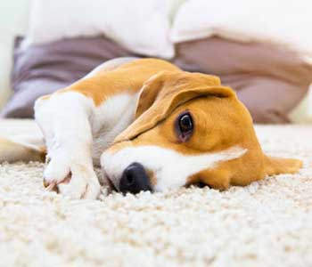 Dr. Spongber Randy explains the types of pet allergies, symptoms, and treatments to keep your pet comfortable in Costa Mesa, CA